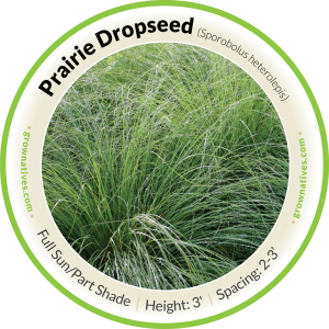 Praire Dropseed